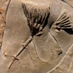 Clematocrinus retiarius (Phillips in Murchison 1839)