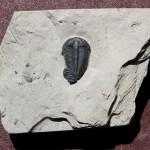 Altiocculus harrisi (Robison, 1971)