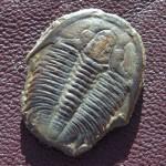 Modocia typicalis aus der Marjum Fm.