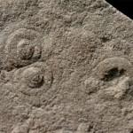 Cyclomedusa delicata Fedonkin, 1981