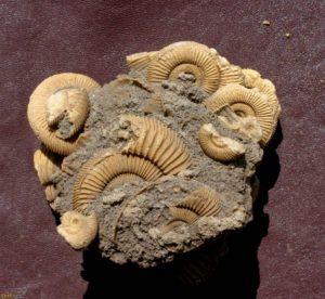 Ammonitenstufen Dactylioceras athleticum (SIMPSON, 1855) aus Schlaifhausen